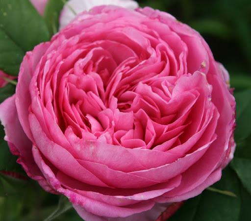 heerlijk geurende rozen florafocus. Black Bedroom Furniture Sets. Home Design Ideas