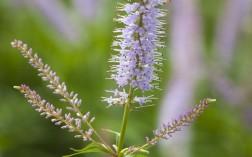 Veroniastrum virginicum 'Lavendenturm'