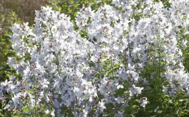 Campanula lactifolia 'Alba'