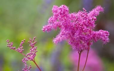 Fillipendula purpurea