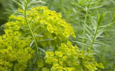 Euphorbia seguleriana
