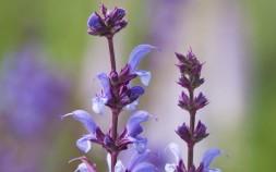 Salvia x Sylvestrus 'Dear Anja'