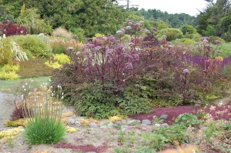"Angelica stricta ""Purpurea"""