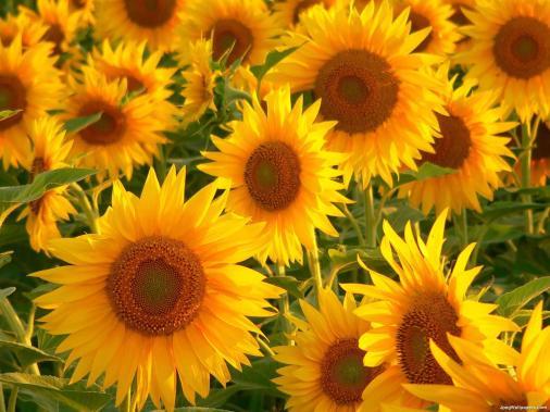 Sunflowers-2-891487 (1)