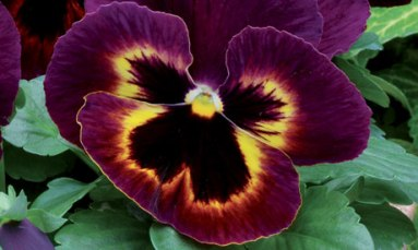 Dark-red,Yellow an Black Flowers,Viola 'Matrix Sangria'