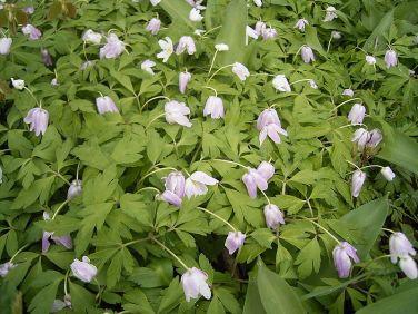 anemone-nemorosa-wikipedia