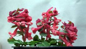Corydalis red and compact