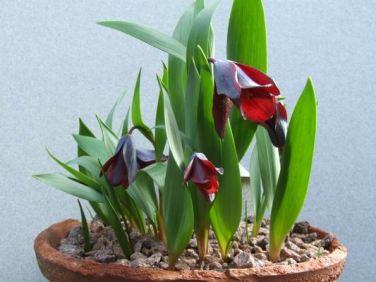 Fritillaria armena
