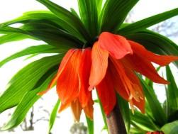 fritillaria_imperialis_aurora_bloemen-liliaceae