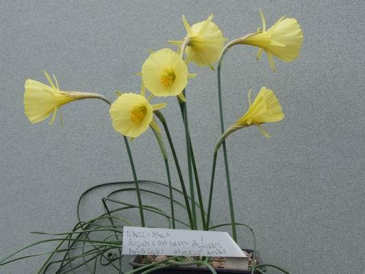 Narcissus bulbicodium pallidus