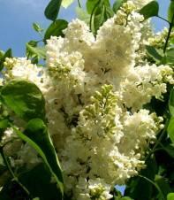 Syringia vulgaris