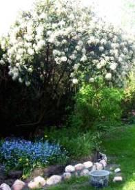 """Viburnum opulus 'Roseum"""""""