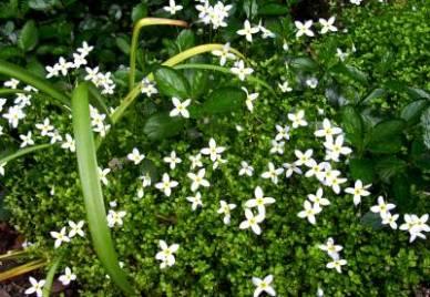 Houstoniana caerulea 'Millard Variety'