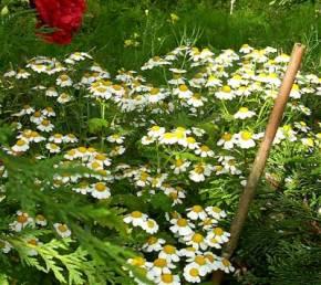 chrysanthemum partenium