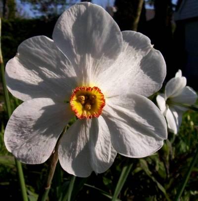 Narcicus poeticus necurvus