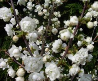 Prunus Glandilosa