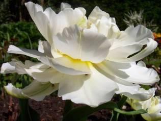 Tulipa 'Schoonoord'