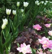 Tulipa Triumph