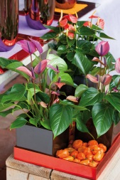Anthurium plants in stylish square grey ceramic pots.