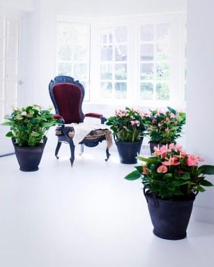 Anthurium Plants are strong low-maintenance plants