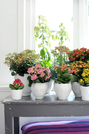 Collection of Kalanchoe Plants.