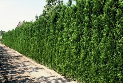 evergreen hedges florafocus. Black Bedroom Furniture Sets. Home Design Ideas