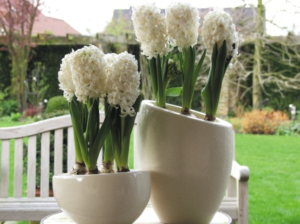 Hyacinths in trendy ceramic pots