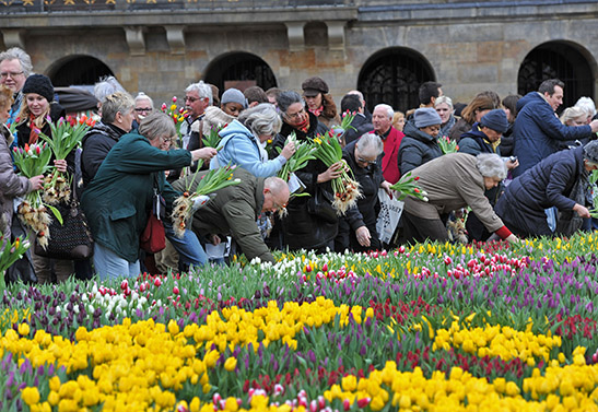 Citizens picking their Tulips