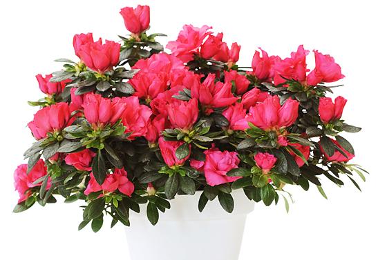 woonplant-Azalea-10-547x377
