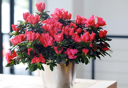 woonplant-Azalea-3-547x377