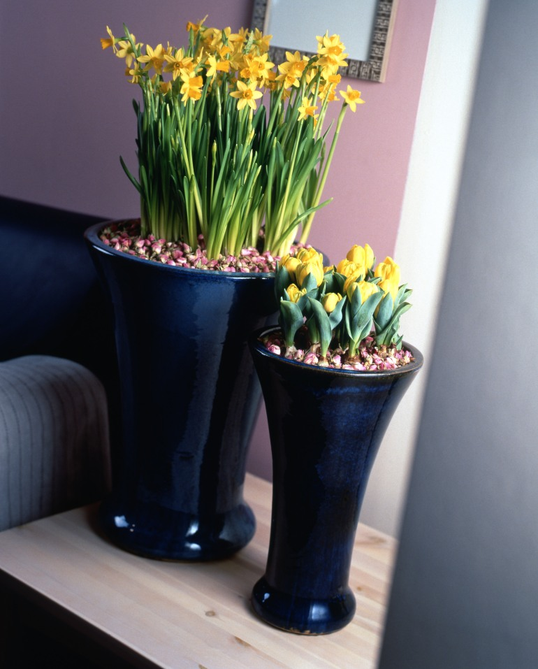 Potted Tulipa Yellow Baby and Narcissus Tete a Tete.