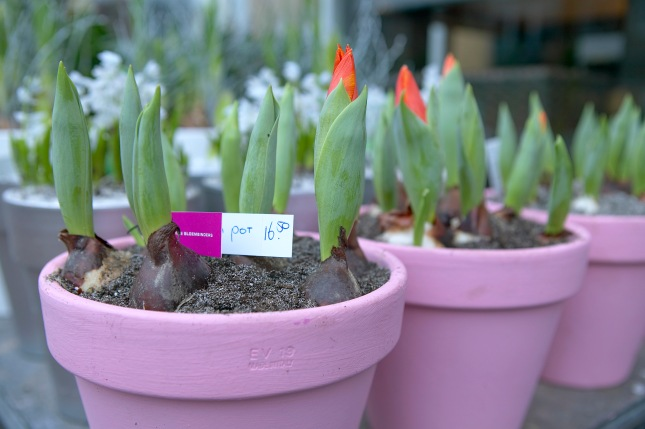 Potted Tulips from the florist