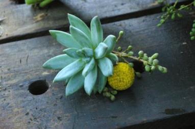 Succulent,Graspedia,Liguster