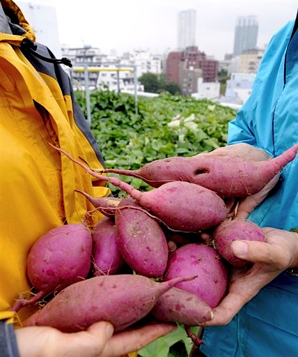 Staff of NTT Facilities hold the harvest of sweet potatoes at their roof-top potato farm in Tokyo, in October.