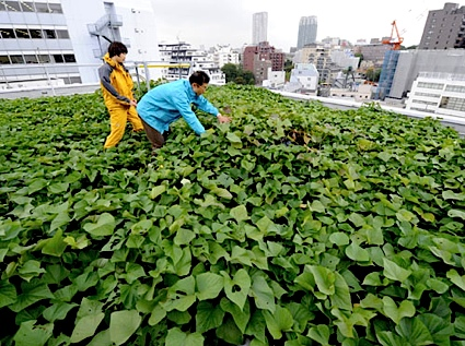 Staff of NTT Facilities, Junko Kariu (left) and Masahiro Nagata, check the roof-top potato farm in Tokyo, in October.