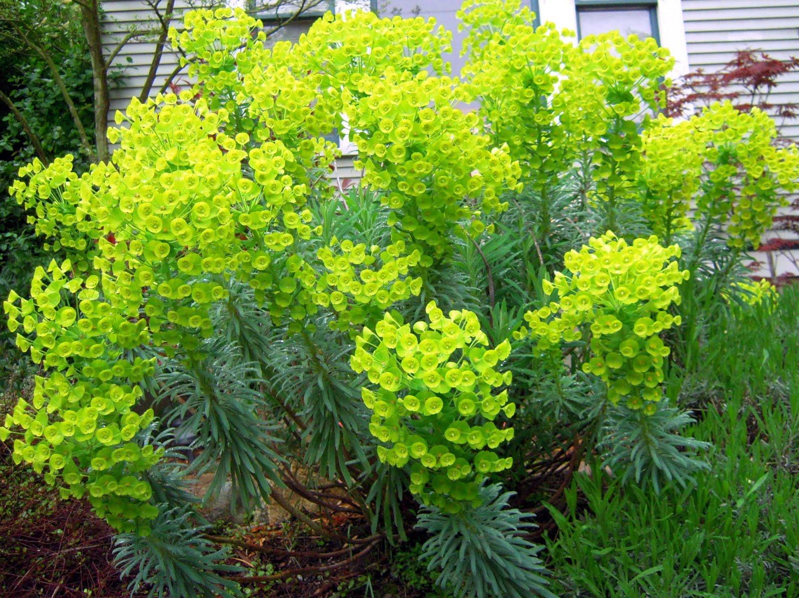 Euphorbia 3 florafocus for Large garden plants