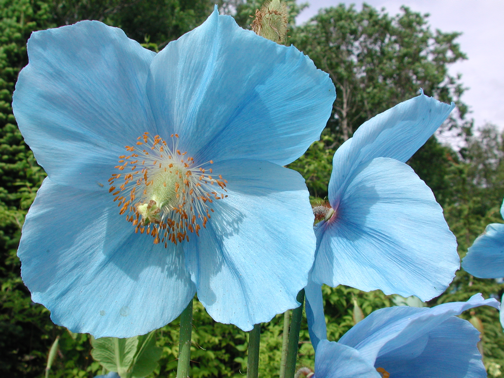 Meconopsis at the Tromso Botanical Garden