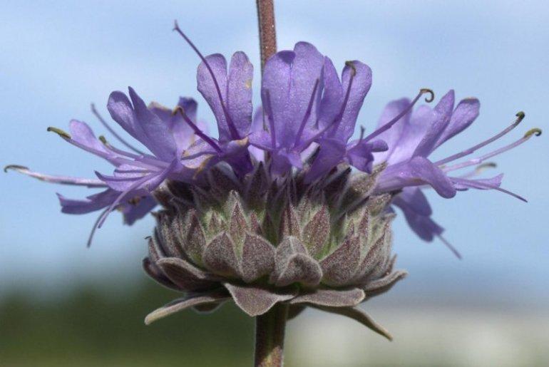 Salvia celestial blue