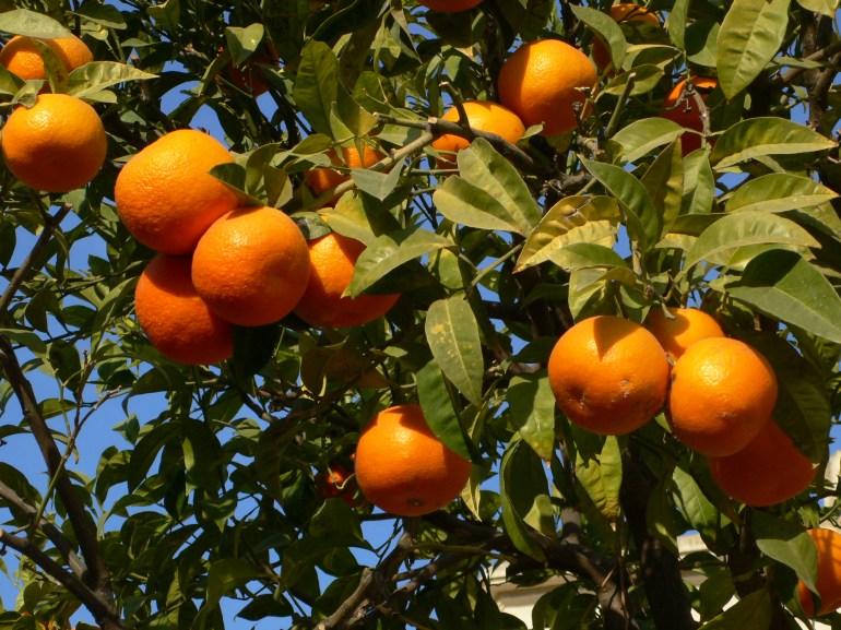navel-orange-tree