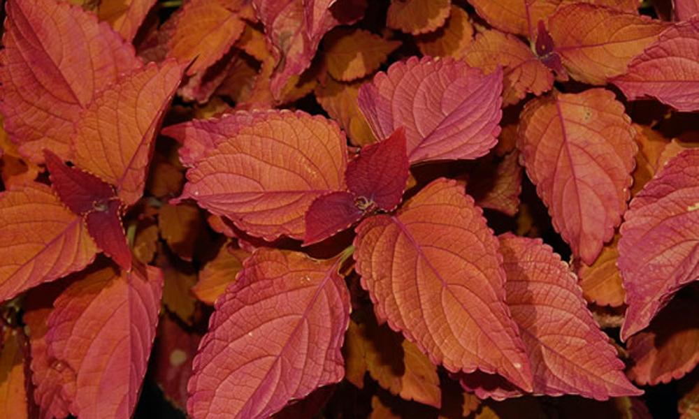 Coleus colorblaze 'Sedona'