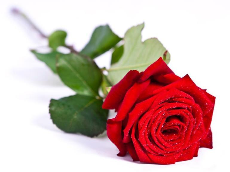 Rosa Red Naomi