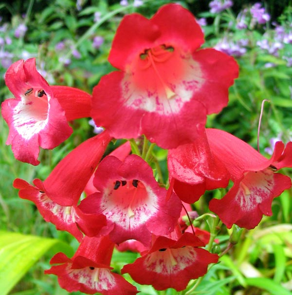 red-penstemon-flower