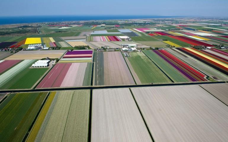 tulips-aerial_2470259k