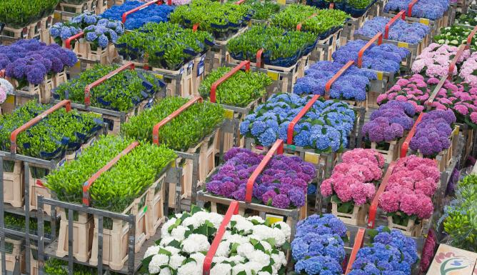 Flowers waiting to be sold at Flora Holland