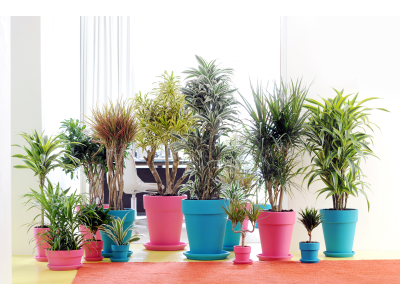 Dracaena fragans and reflecta