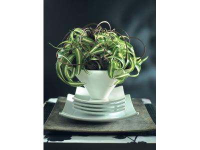 Grass-lilly Chlorophyttum