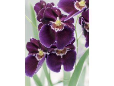 Miltonia orchids have a great sweet smell