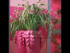 Pink Cymbidiums