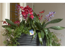Dendrobium orchids and Guzmania