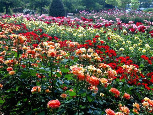 rose-garden-wallpaper1
